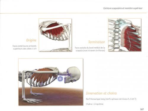 Article de Yoga Yoga Anatomie Les Muscles