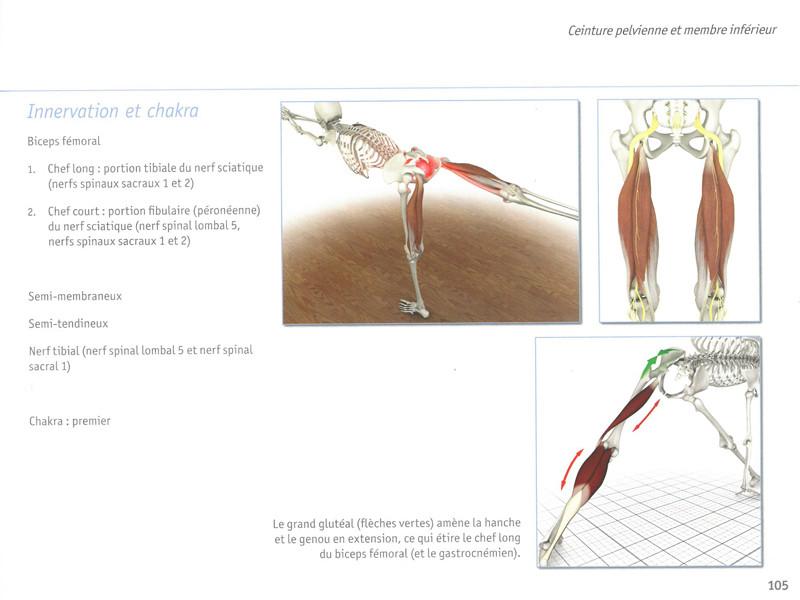 Yoga Anatomie Les Muscles